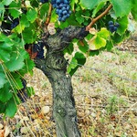 Here is one of our 48 years old Grenache vines that resisted last year fire... It is being harvested today to produce our #nosexforbutterfly Grenache Noir 2020. The 9th vintage of our #nosexforbutterfly range. #chateaudevalcombe #costieresdenimes #organicwines #familyvineyard